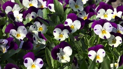 4k Pansy flowers species blue-white close up Stock Footage