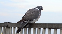 Close Up of a Pigeon Walking Along a Metal Railing Stock Footage