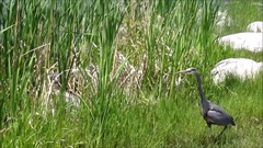 Big bird -- blue heron by the lake, among reeds, green plants Stock Footage
