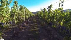 An eye level flying steadicam walk through the vineyard at sunset, in Oliver Stock Footage
