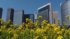 Rapessed flowers and skyscrapers, Tokyo, Japan Stock Footage