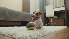Pet dog Jack Russell Terrier lies smiling sticking his tongue out on the carpet Stock Footage