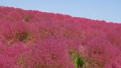Flower field at Hitachi Seaside Park National, Ibaraki Prefecture, Japan Stock Footage