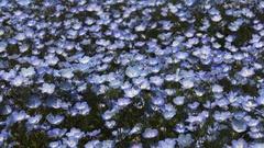 Nemophila flowers Stock Footage