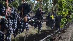 Slow moving Pan down and up of a cluster of Merlot grapes and vines ripening in Stock Footage