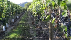A slow moving dolly shot of merlot grapes ripenening in the morning sun Stock Footage