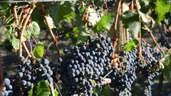 Medium shot of a row of merlot grapes ripenening on the vine in the evening Stock Footage