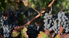 A Slow moving close up Pan from left right of ripe Merlot Grapes in the morning Stock Footage