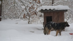 Dog on chain in snow enters its kennel in winter in snowfall Stock Footage