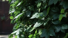 The plant is on the wall, green ivy leaves Stock Footage