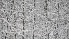 Snow in deciduous forest with snow covered trees Stock Footage