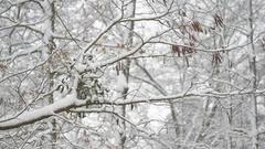 Mistletoe on black locust tree branch in forest Stock Footage