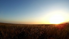 Wheat Field Sunset Caressed by Wind Crane Shot Nature Background. Beautiful scen Stock Footage