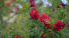 Bunch of red berry fruit on the plant in Ireland Stock Footage