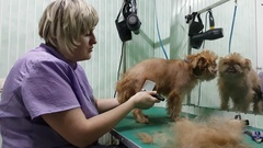 Woman groomer makes trimming Brussels Griffon Stock Footage