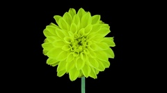 Time-lapse of dying yellow dahlia in RGB + ALPHA matte format Stock Footage