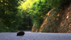 Lame hedgehog crossing road passing through forest Stock Footage