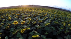AERIAL: Flying over sun flowers at sunset Stock Footage
