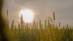 Sunset in the field spiked Stock Footage