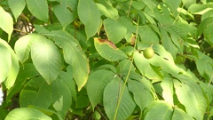 Aesculus parviflora (bottlebrush buckeye) Stock Footage