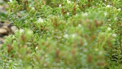 Crassula lanceolata is succulent plant Stock Footage