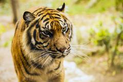 Bengal tiger in captivity at the zoo Stock Photos