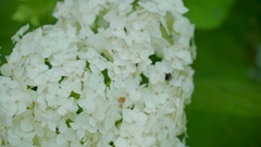 Fully bloomed white flower on the green plant in Ireland Stock Footage