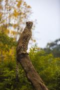 Beautiful cheetah (Acinonyx jubatus) in her natural habitat Kuvituskuvat