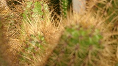 Echinopsis candicans is species of cactus Stock Footage