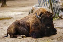 American buffalo bison on farm Kuvituskuvat