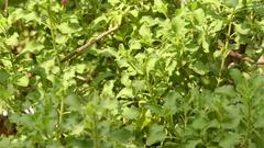 Salvia africana-lutea (sandsalie geelblomsalie) Stock Footage