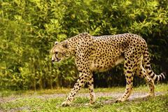 Beautiful cheetah (Acinonyx jubatus) in her natural habitat Stock Photos