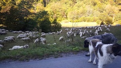 Dogs and sheeps on a road through the mountains Stock Footage