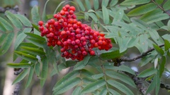 The red berry fruit from a tree in the garden in Ireland Stock Footage