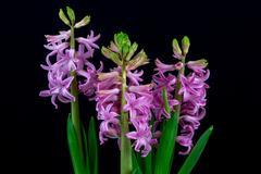 Pink pearl hyacinth Stock Photos