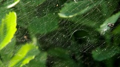 Grasshoppers in spider web and spider Stock Footage