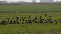 Red Winged Blackbirds, Blackbirds, Birds, Fly, Flight, Flying Stock Footage