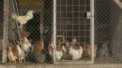 Flock of rooster and hens standing in the chicken coop by Pakito. Stock Footage