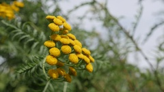 Tanacetum vulgare bitter golden buttons yellow flower shrub on the wind Stock Footage