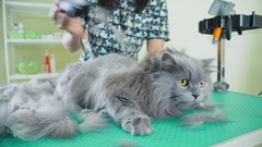 Grooming cat. The process of shearing house cat. Very fluffy smoky cat Stock Footage