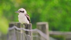 Kookaburra sitting on post Stock Footage