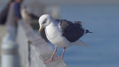 A seagull bird on a pier over the ocean. Arkistovideo