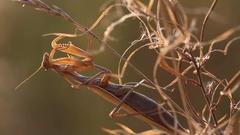 Mantis religiosa in wildlife, praing mantis in nature close up Stock Footage