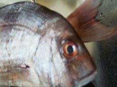Zoom out from bream fish washing Stock Footage