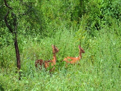 Many wild deer in protected Yala park forest in Sri Lanka seen during safari Stock Footage