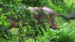 Fast running wild buffaloes in Yala National Park in Sri Lanka Stock Footage