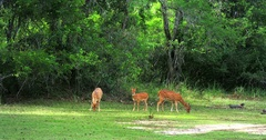 Family of wild deer grazing near forest sanctuary in Yala park in Sri Lanka Stock Footage