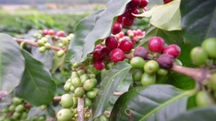 Coffee cherries (beans) ripening on a coffea tree branch (closeup) Stock Footage