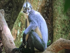 Wild Thomas Monkey or Leaf Monkey in Sumatra forest with small and cute baby Stock Footage