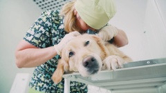 Veterinarian looks Labrador ears. Animal in a veterinary clinic Stock Footage